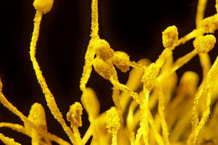 Pollenträger der Weidenkätzchen im Auflicht 25 fache Vergrößerung