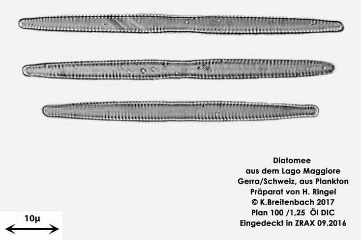 Bild 15 Diatomee aus dem Lago Maggiore/Gerra Schweiz, Art vermutlich Synedra ulna (Nitzsch) Ehrenberg 1836