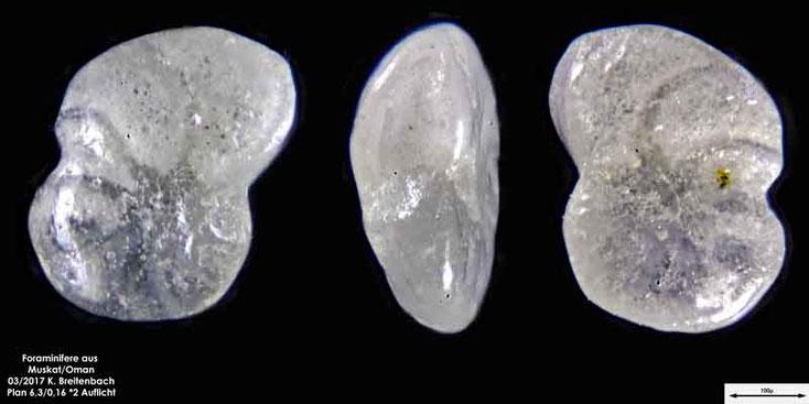 Bild 7 Foraminiferen aus dem Oman, Strand von Muskat. Gattung: unbestimmt