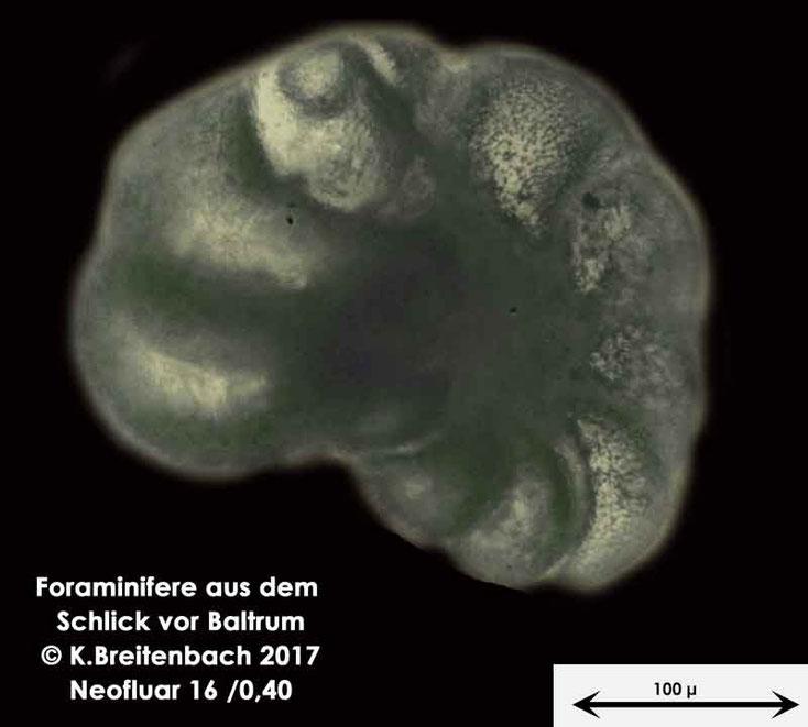 Bild 13 Foraminifere aus dem Wattschlick vor Baltrum; Vorder- und Rückseite; Art: unbestimmt von mir