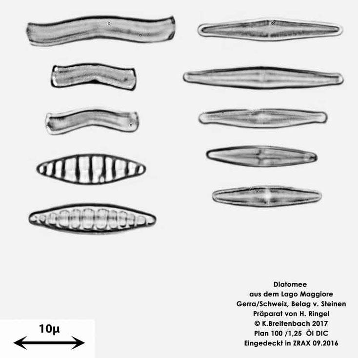 Bild 44 Diatomeen aus dem Lago Maggiore/Gerra Schweiz, verschiedene kleine, Gattung mir unbekannt