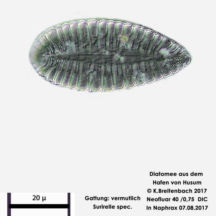 Bild 14 Diatomee aus dem Hafen von Husum Gattung: Surirella spec.