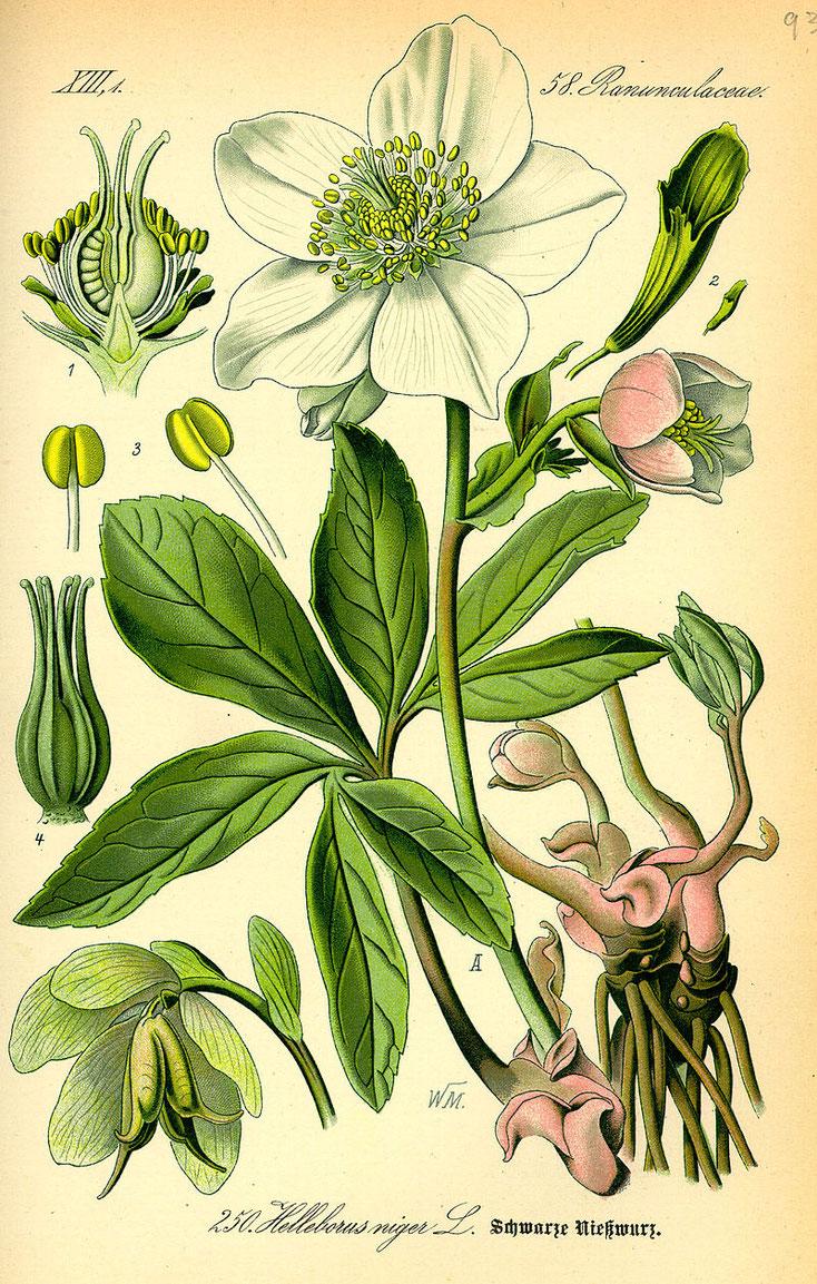 Christrose (Helleborus niger) Illustration in Flora von Deutschland, Österreich und der Schweiz von Otto Wilhelm Thomé, Gera 1885