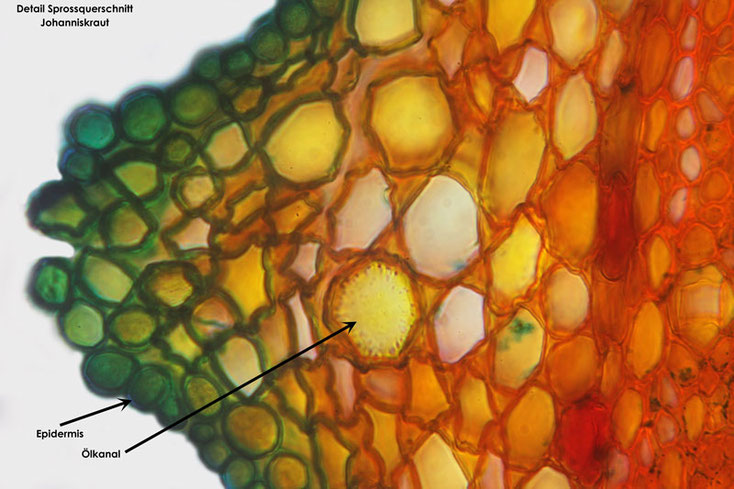 Bild 4 Echtes Johanniskraut (Hypericum perforatum) Sprossquerschnitt Teilbereich, Darstellung Ölkanal