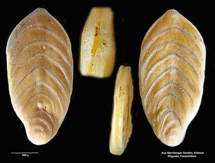 Foraminiferen aus Kobrow, Sternberger Kuchen