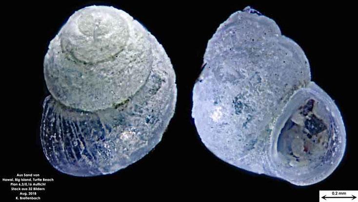 Meeresschnecke aus Hawaii, Big Island; Turtle Beach. Gattung konnte nicht bestimmt werden.