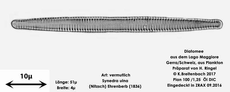 Bild 16 Diatomee aus dem Lago Maggiore/Gerra Schweiz, Art vermutlich Synedra ulna (Nitzsch) Ehrenberg 1836