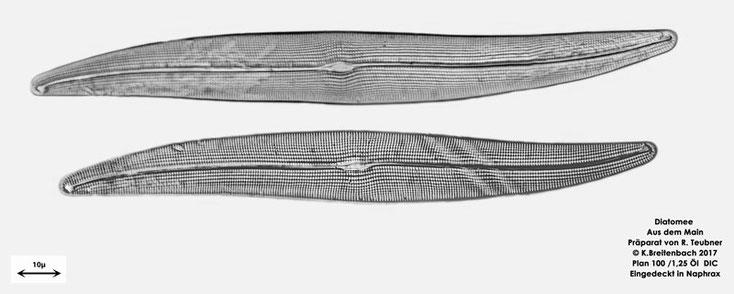 Bild 7a Diatomeen aus dem Main km 69,4 Art: vermutlich Gyrosigma attenuatum