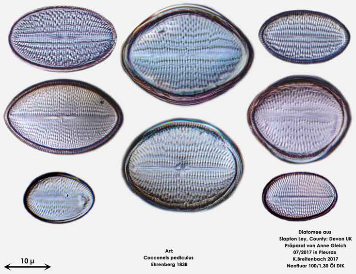 Bild 4 Diatomeen aus Slapton Ley, Devon UK; Art: Cocconeis pediculus Ehrenberg 1838