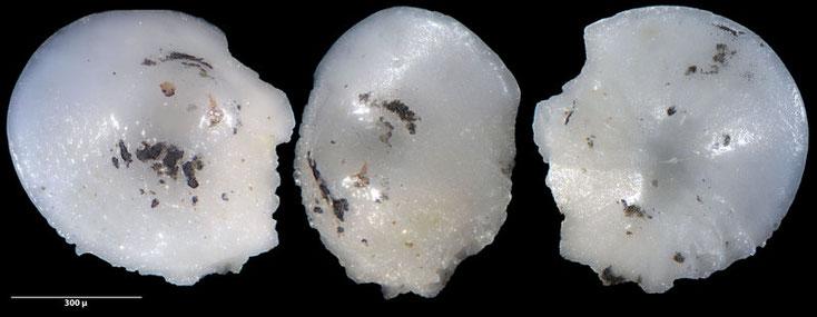 Bild 3 Foraminifere ausgelesen aus Sand von der Gaspesie, Kanada, Quebec