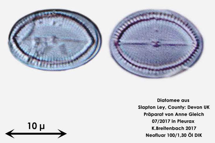 Bild 6 Diatomeen aus Slapton Ley, Devon UK; Gattung: Cocconeis spec.