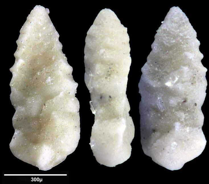 Bild 18 Foraminifere aus Maribago, Philippines; Gattung: Textularia sp (Defrance, 1824)