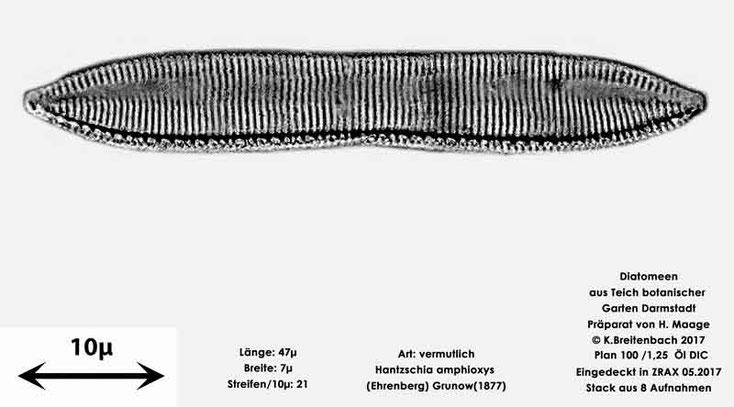 Bild 17 Diatomee aus dem botanischen Garten in Darmstadt, Art: vermutlich Hantzschia amphioxys (Ehrenberg) Grunow(1877)