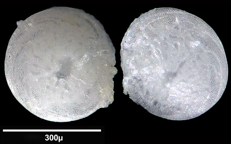 Bild 6 Foraminifere aus Maribago, Philippines; Gattung: Asterigerina sp (d'Orbigny, 1839)