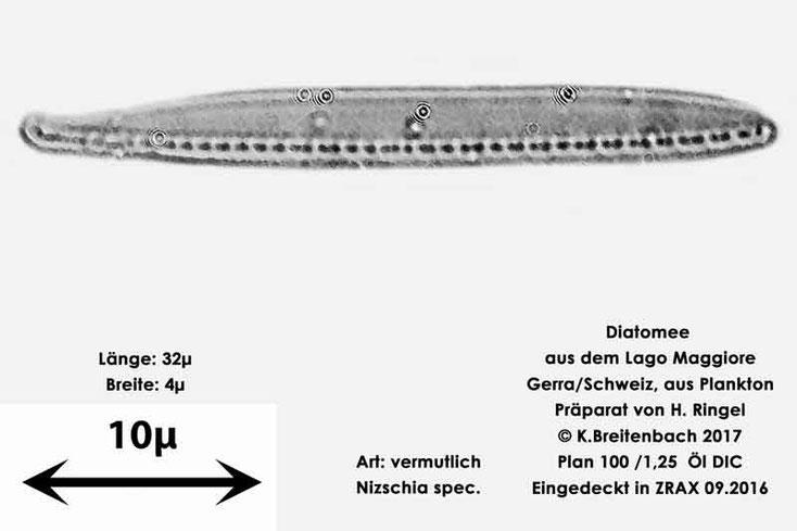 Bild 14 Diatomee aus dem Lago Maggiore/Gerra Schweiz, Art vermutlich Nitzschia spec.
