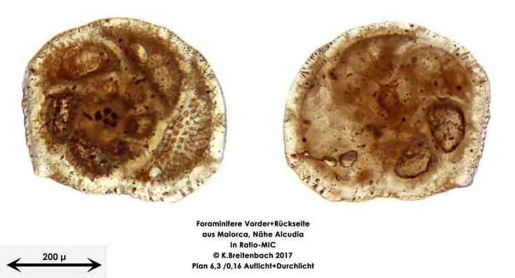 Bild 24 Foraminiferen aus Mallorca; Gattung: Lobatula spec.