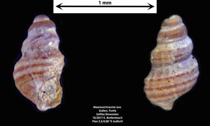 Bild 18 Meeresschnecke aus Sand von Punta Sottile. Gattung: konnte nicht bestimmt werden
