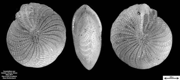 Bild 3 Foraminifere vom Strand in Salalah, Oman Art: Elphidium crispum (Linnaeus, 1758)