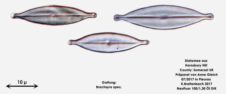 Bild 3 Diatomeen aus Hornsbury Hill, County Somerset UK, Gattung: Brachysira spec.