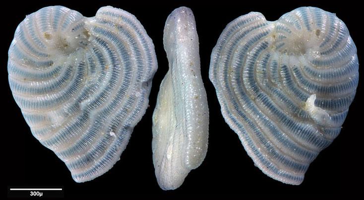 Bild 16 Foraminifere aus Maribago, Philippines; Art: Sorites marginalis (Lamarck, 1816)