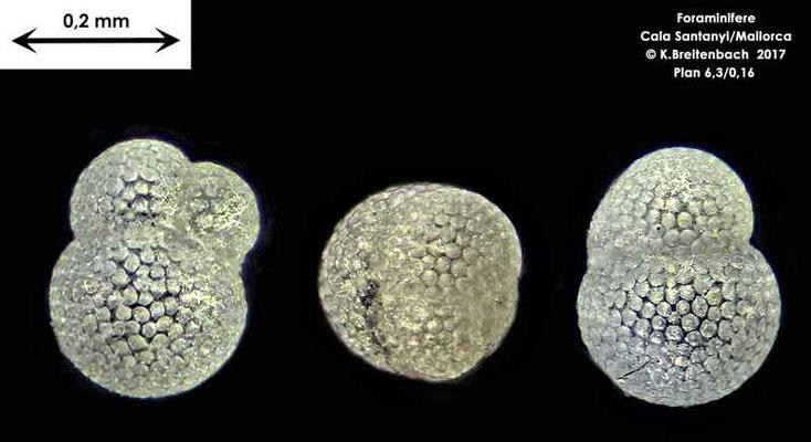 Bild 10 Foraminifere aus Mallorca Cala Santanyi, Art: Globoturborotalita sp.