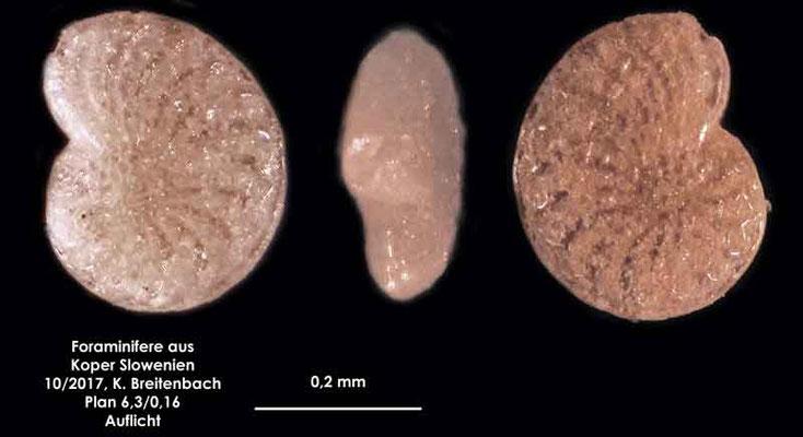 Bild 8 Foraminifere aus Koper/Slowenien Art: spec Elphidium