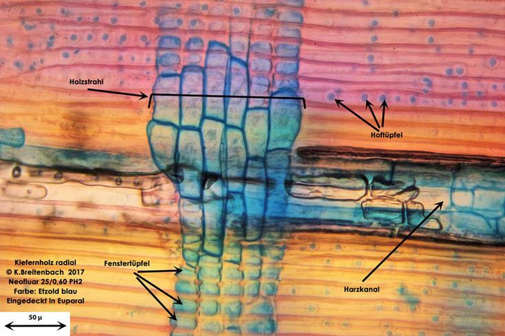 Kiefer im Radialschnitt, Etzold blau gefärbt, mit 25er Neofluarobjektiv im Durchlichtmikroskop 250 fache Vergrößerung