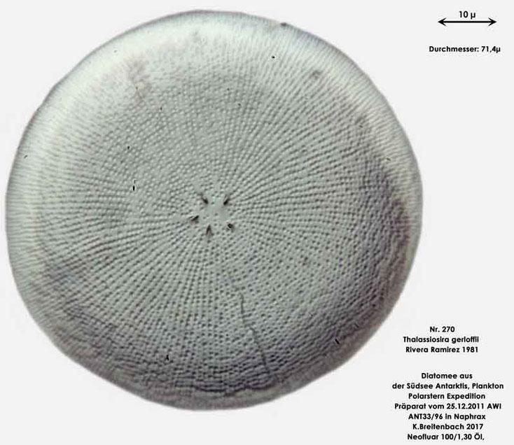 Bild 28 Diatomee aus dem anarktischen Ozean Präparat: ANT33/96; Art: Thalassiosira gerloffii Rivera Ramirez 1981