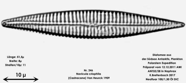 Bild 25 Diatomee aus dem anarktischen Ozean Präparat: ANT32/28; Art: Navicula criophila (Castracane) Van Heurck 1909