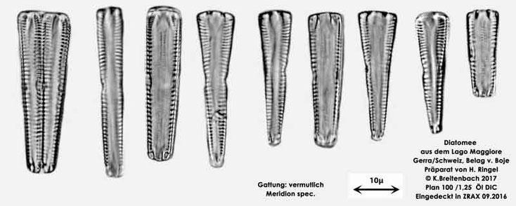 Bild 52 Diatomee aus dem Lago Maggiore/Gerra Schweiz, Gattung vermutlich Meridion spec.
