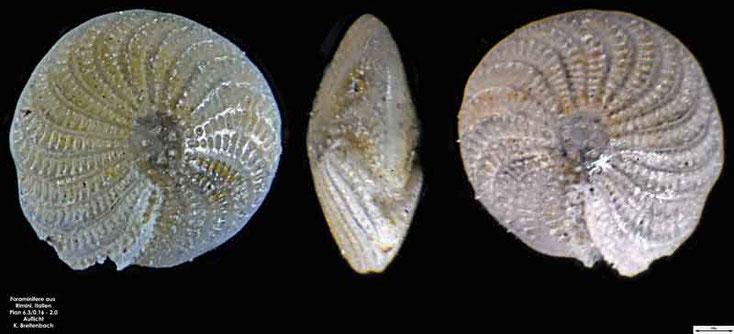 Foraminifere aus Strandsand aus Rimini; Gattung: Elphidium sp.