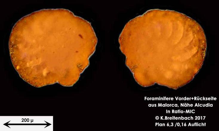Bild 15 Foraminiferen aus Mallorca; Gattung: Unbestimmt von mir