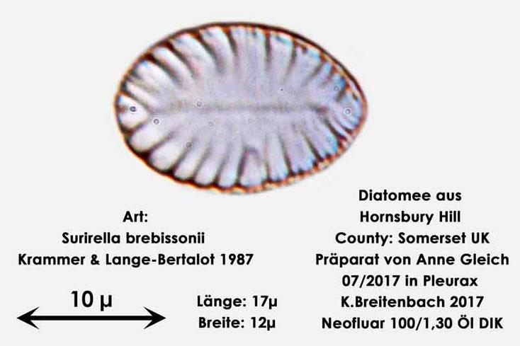 Bild 24 Diatomee aus Hornsbury Hill, County Somerset UK, Art: Surirella brebissonii Krammer & Lange-Bertalot 1987