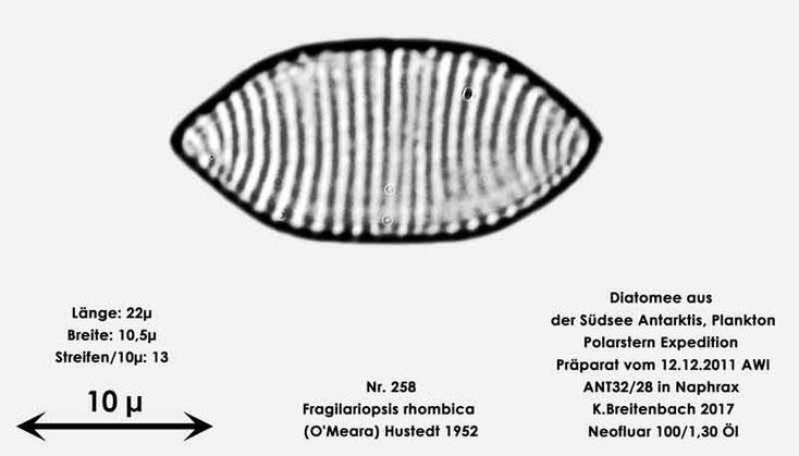 Bild 12 Diatomee aus dem anarktischen Ozean Präparat: ANT32/28; Art: Fragilariopsis rhombica (O'Meara) Hustedt 1952