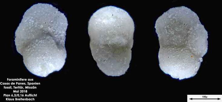 Foraminifere aus Casas de Pranes, Spanien. Gattung: Globigerinida sp