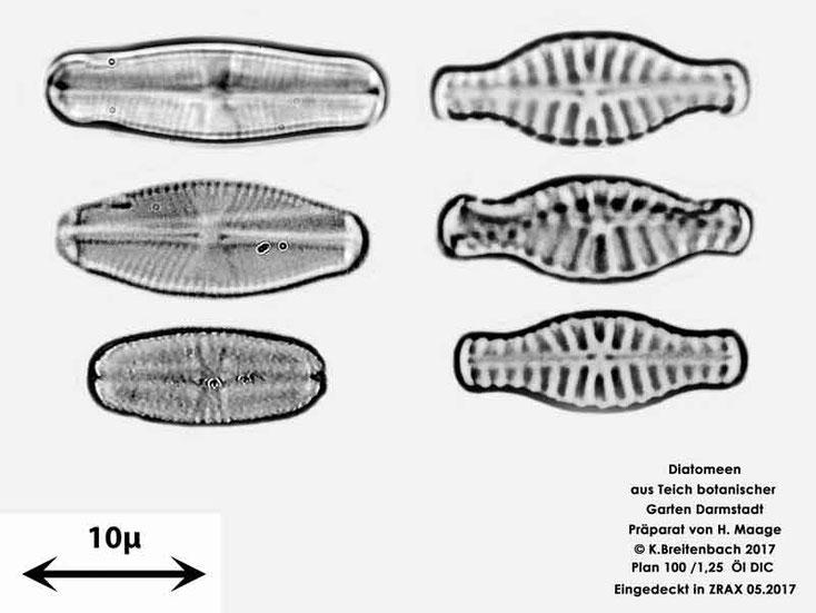 Bild 29 Diatomeen aus dem botanischen Garten in Darmstadt, verschiedene Gattungen konnten von mir nicht bestimmt werden