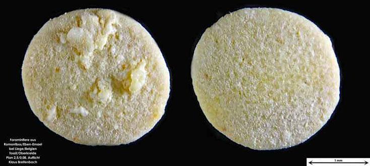 Foraminifere fossil aus Romontbos bei Eben-Emael. Art: Lepidorbitoides minor (Schlumberger 1902)