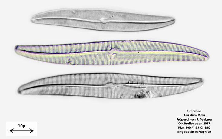 Bild 7 Diatomeen aus dem Main km 69,4 Art: vermutlich Gyrosigma attenuatum