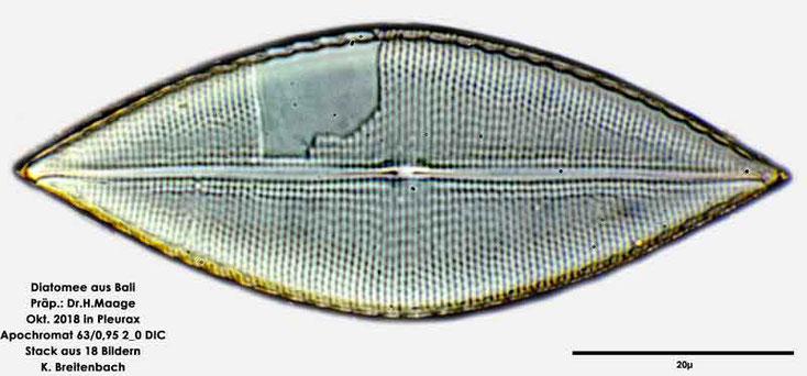Diatomee aus Bali; Gattung: cf Mastoglia sp