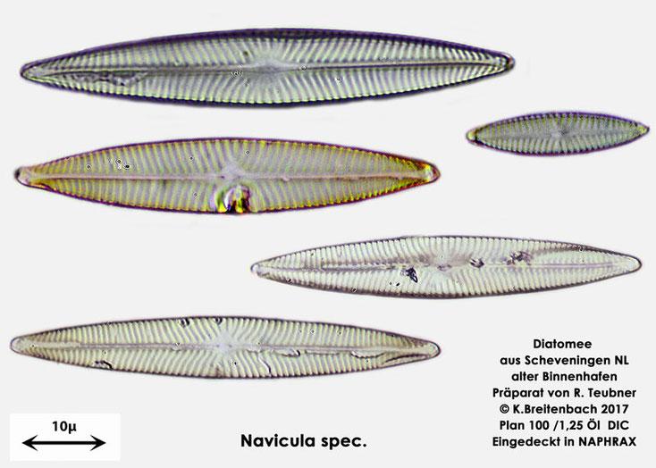 Bild 8 Diatomeen aus Scheveningen NL, Art vermutlich Navicula spec.