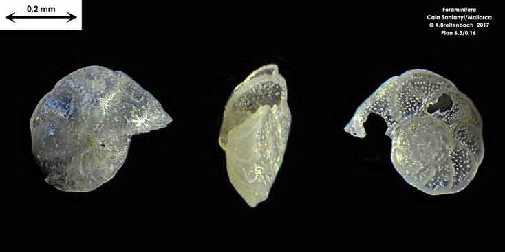 Bild 9 Foraminifere aus Mallorca Cala Santanyi, Art: Lobatula lobatula (Walker & Jacob, 1798)