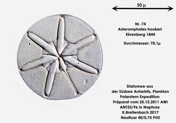 Bild 33 Diatomee aus dem anarktischen Ozean Präparat: ANT33/96; Art: Asteromphales hookeri Ehrenberg 1844