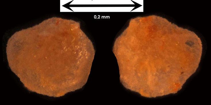 Foraminifere aus Waldlaubersheim Art unbekannt