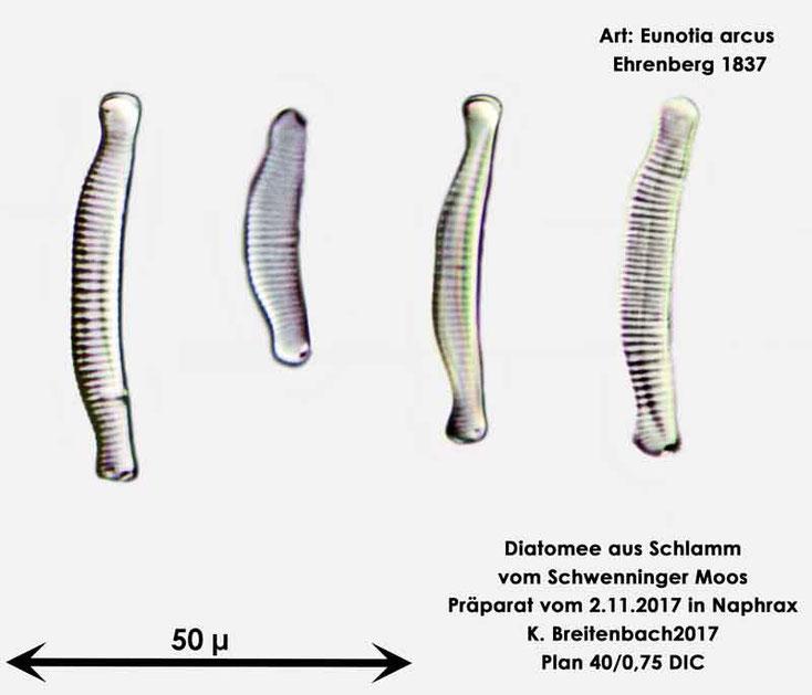 Bild 6 Diatomeen aus dem Schwenninger-Moos Art: Eunotia arcus Ehrenberg 1837