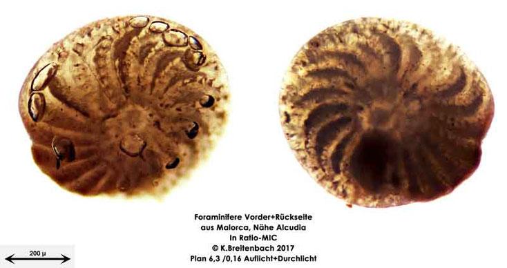 Bild 23 Foraminiferen aus Mallorca; Gattung: Elphidium spec.
