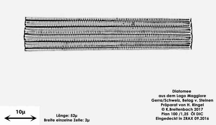 Bild 42 Diatomee aus dem Lago Maggiore/Gerra Schweiz, Gattung mir unbekannt