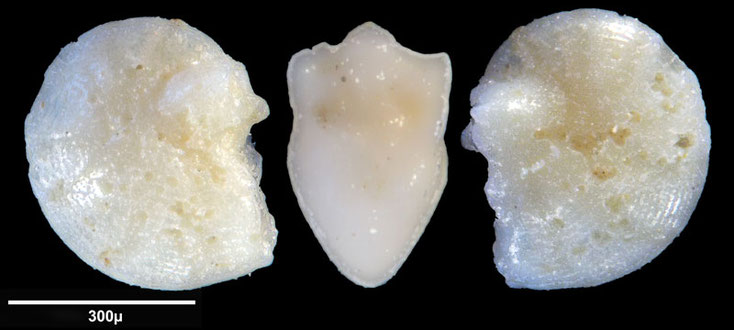 Bild 2 Foraminifere aus Maribago, Philippines; Art: unbestimmt