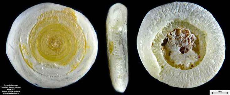 Bild 8 Foraminifere vom Strand in Salalah, Oman Gattung: Spirillina sp.