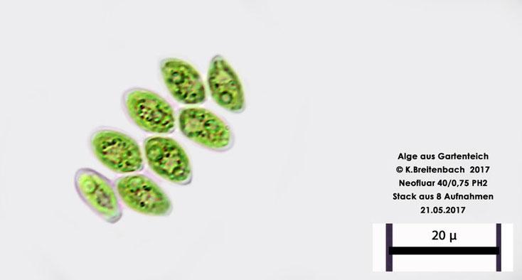 Bild 10 Alge aus unserem Gartenteich, vermutlich Grünalge vermutlich Gloeocytis spec.