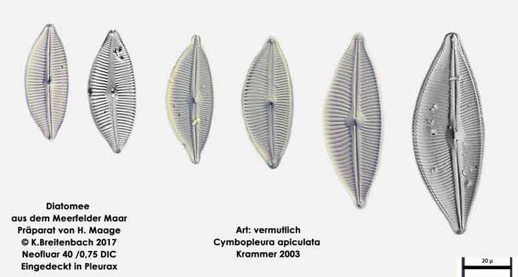 Bild 3 Diatomeen aus dem Meerfelder Maar in der Eifel, Art: vermutlich Cymbopleura apiculata Krammer 2003